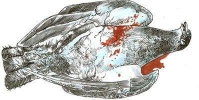 dead pigeon